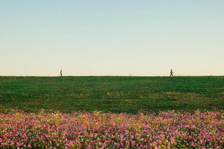 秋桜 Field Sky