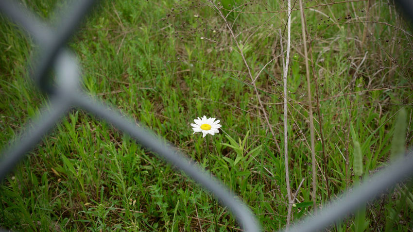 Prisoner Barrier Beauty In Nature Boundary Close-up Day Fence Field Flower Flower Head Flowering Plant Fragility Freshness Grass Growth Land Nature No People Outdoors Petal Plant Prison Selective Focus Small Vulnerability