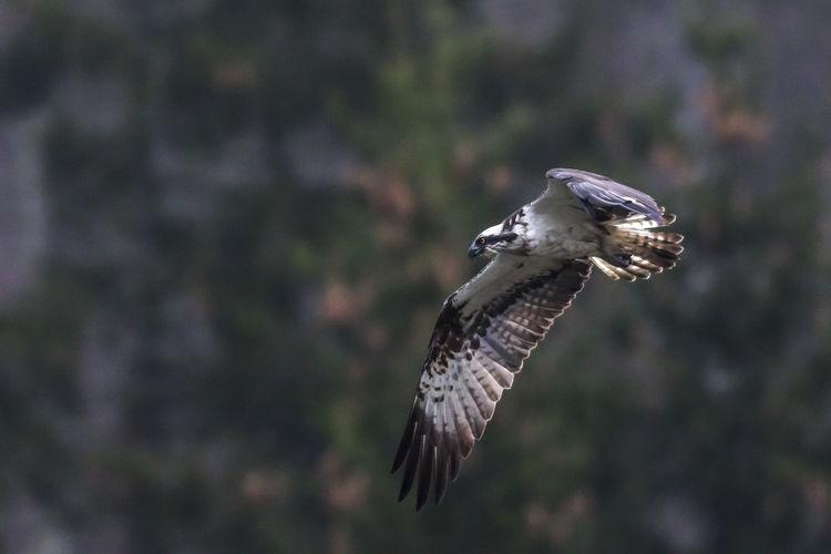 An osprey in