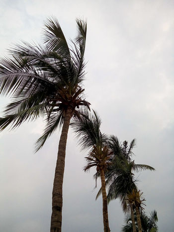 Coconut Trees Trees And Sky Coconut Tree Stormy Weather Storm Trees In Line