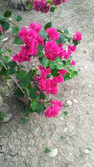 Flower Pink Color Leaf High Angle View Close-up Plant Green Color Blooming