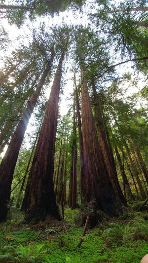 Low Angle View Tree Trunk Tree Nature No People Redwood Trees Green Outdoors Beauty In Nature