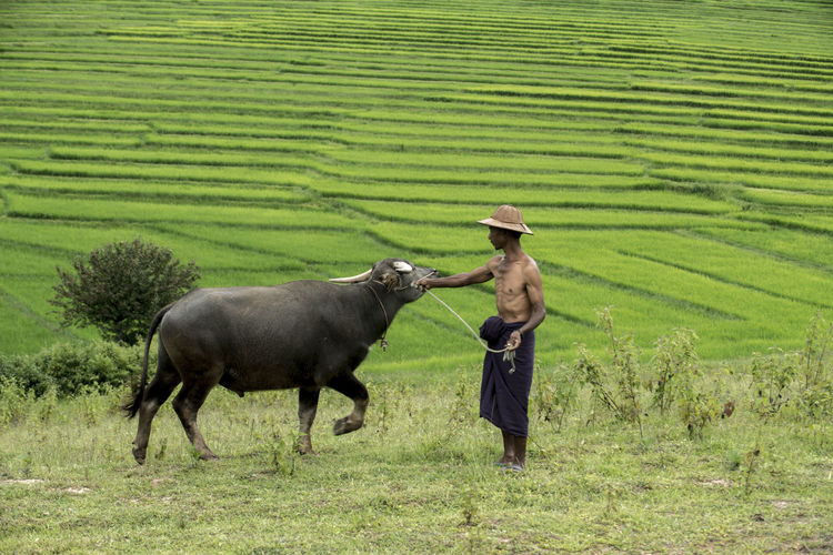 Agriculture Animal Animal Themes Day Domestic Animals Farmer Field Grass Landscape Mammal Nature One Person Outdoors People Rural Scene Standing