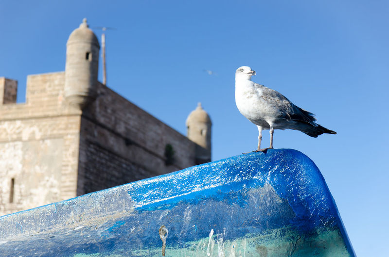 Seagull perching on wooden post against clear blue sky