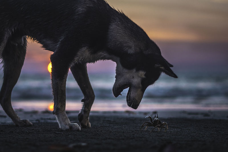 Dog by crab on shore at beach sunset
