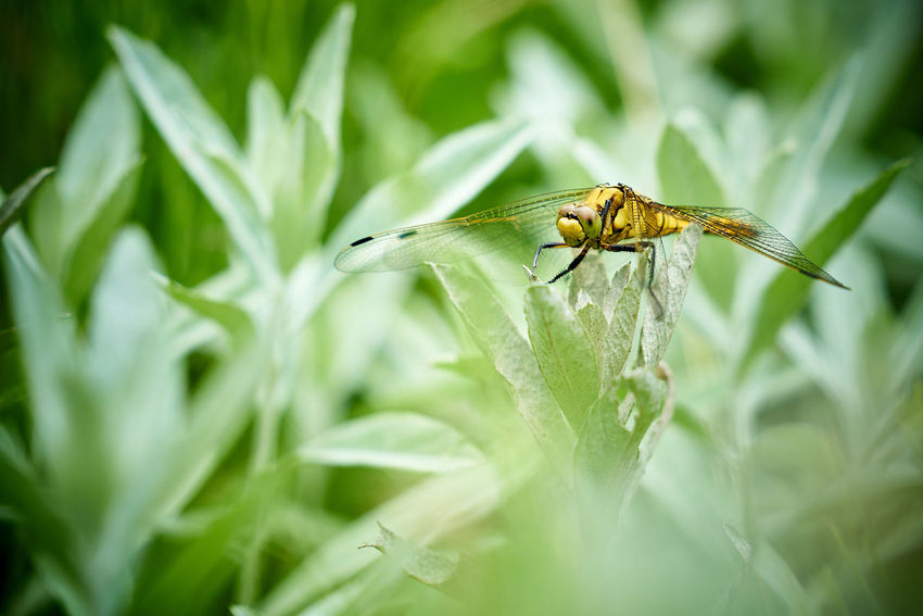 Westliche Keiljungfer (Gomphus pulchellus) Dragonfly Animal Animal Themes Animal Wildlife Animals In The Wild Beauty In Nature Close-up Day Focus On Foreground Green Color Insect Nature No People One Animal Outdoors Plant Plant Part Selective Focus