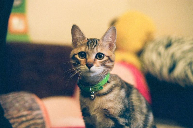Animal Cat Cute Film Film Photography Indoors  Kitten Pet Pet Photography