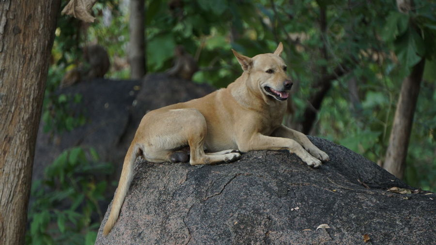 Looks like Lion :Dog Stories Animal Wildlife Animal Animals In The Wild Outdoors No People Lion - Feline Lioness Mammal Day Tree Nature Animal Themes Dog Wild Dog Storytellingphotography Nwin Photography Sony A6000 EyeEm Dog Unexpected Nature Sony Alpha Photography