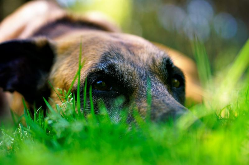 Animal Themes Animal Animals Dog Dogs Dogslife Pet Pets Pet Photography  Outdoors One Animal Eye Eyes No People Day Grass Close-up Green Scene Nature The Portraitist - 2017 EyeEm Awards EyeEmNewHere BYOPaper! Pet Portraits Domestic Animals Selective Focus Mammal Green Color