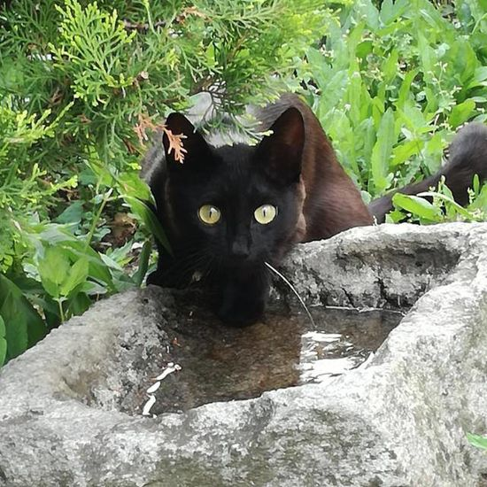 Domestic Cat Black Color Looking At Camera Animal Themes Outdoors Streamzoofamily TheVille Cat No People Cat♡ Gatto Kot Neko Beauty In Nature Black Cats Are Beautiful Animal Theme Miau *-*  Cats Of EyeEm Cat Lovers