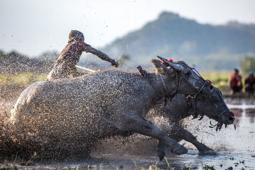 Barapan Kebo - traditional buffalo race on Sumbawa island, Indonesia. Authentic Moments Bull INDONESIA Local Motion Blur Racing Sumbawa Travel Photography Unrecognizable People Barapan Kebo Genuine Island People Race Travel Destinations