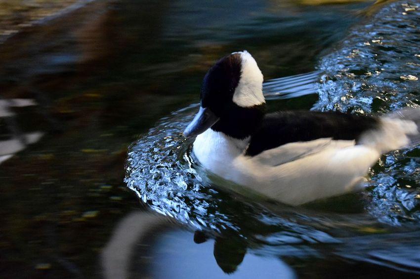 Bufflehead Duck Animal Themes Wildlife Bird Water Swimming Waterfowl