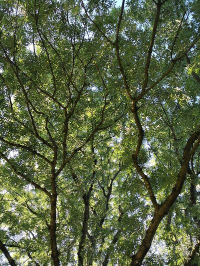 Looking into the treetop while relaxing in Hayns Park Hamburg Eppendorf Germany Crown Tree Crown Tree Crowns Greenery Green Color Greenery Scenery Chlorophyll Photosynthesis Tree Branch Backgrounds Forest Full Frame Leaf Sky Green Color Close-up Tree Canopy  Blooming Treetop Tissue Relaxed Moments Delicate Flora Blossoming  In Bloom Plant Life Flower Head Growing Directly Below
