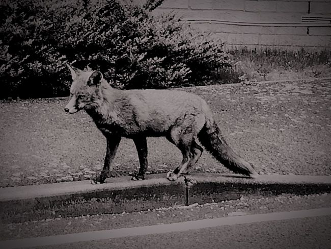 Welcome To Black the fox in town