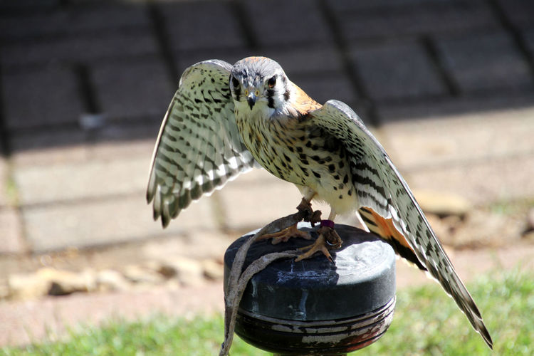 Hawk perching on metal