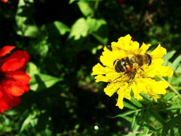 Eyeemphoto Flower Petal Yellow Bee Freshness Garden Photography Paki_photographers EyeEmNewHere EyeEm Selects