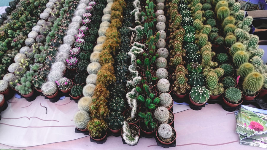 High Angle View Of Cactuses Arranged On Table