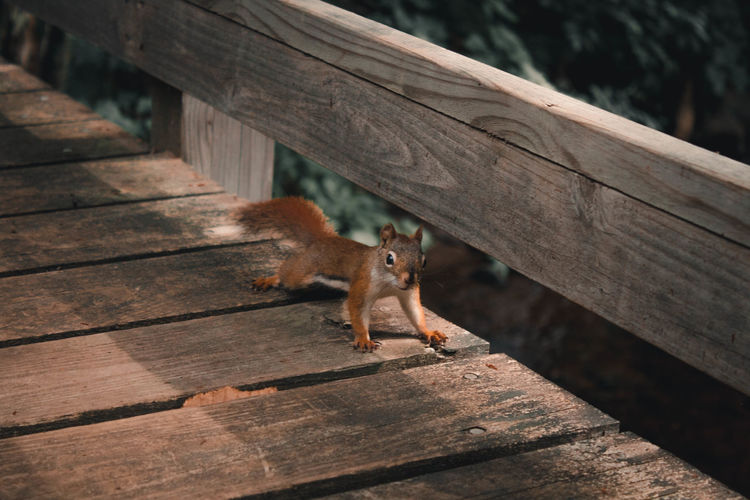 High angle view of squirrel on footbridge