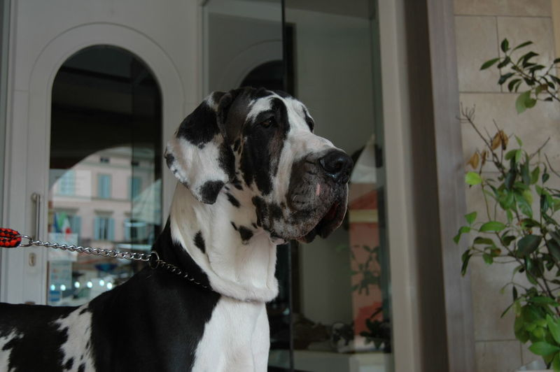Close-up of great dane