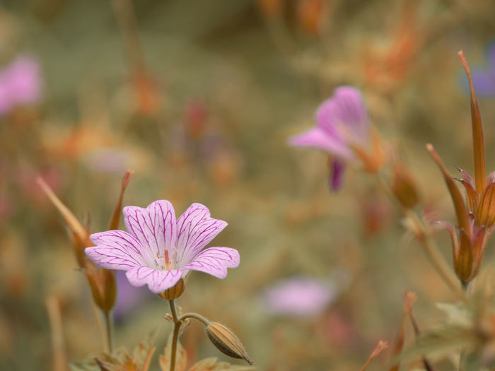 Beauty In Nature Botany Close-up Day Flower Flower Head Flowering Plant Focus On Foreground Fragility Freshness Growth Inflorescence Nature No People Petal Pink Color Plant Pollen Purple Selective Focus Vulnerability