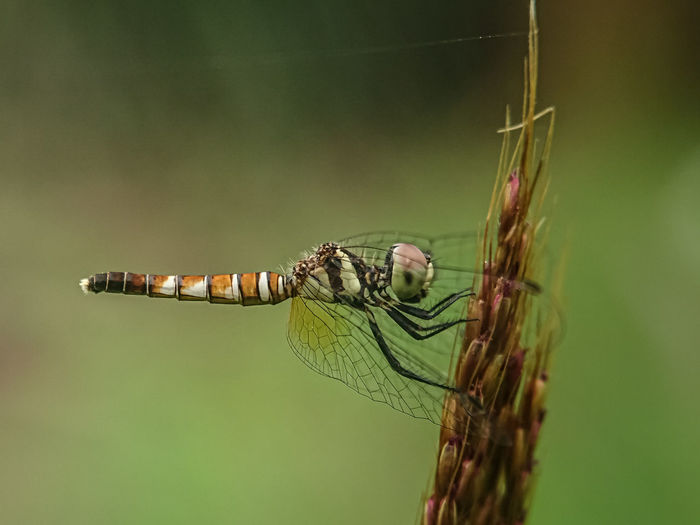 Close-up of dragonfly on plant, brachydiplax