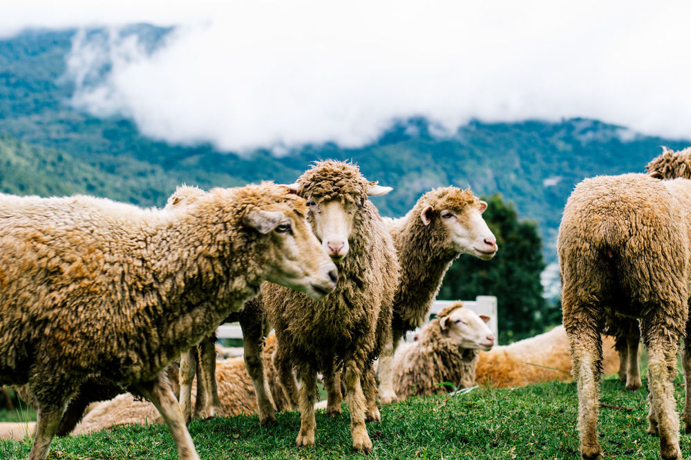 Sheeps Outdoors Animal Themes Grass No People Animals In The Wild Mountain Focus Close-up Closing Farmland Farm EyeEm Animal Lover Sheep Farm Green Color Winter Sky Cloudy Green Grass Blurred ForegroundFlock Of Sheep Rural Scene Country Lovely Sheep Focus On Subject