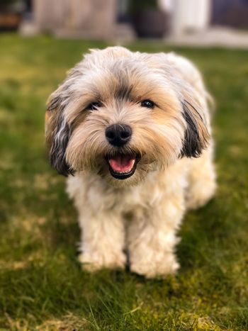 Dog Pets One Animal Animal Themes Domestic Animals Mammal Grass Animal Tongue Focus On Foreground No People Portrait Looking At Camera Panting Nature Outdoors Close-up Day Bichon Havanais