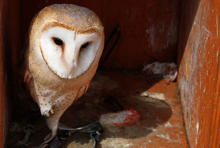 Close-up of barn owl on sunny day