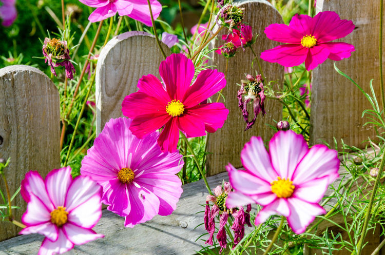 Beauty In Nature Close-up Cosmos Bipinnatus Cosmos Flower Day Flower Flower Head Flowering Plant Fragility Freshness Growth Inflorescence Nature No People Outdoors Petal Pink Color Plant Pollen Purple Springtime Vulnerability  Wood - Material