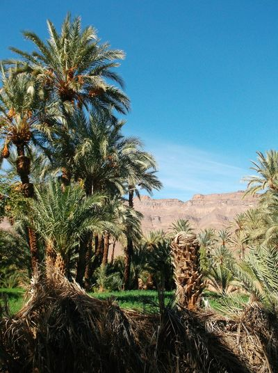 Mobile Photography Desert Morocco Palm Trees Tamnougalt Arid Landscape Landscape Mountain Date Tree