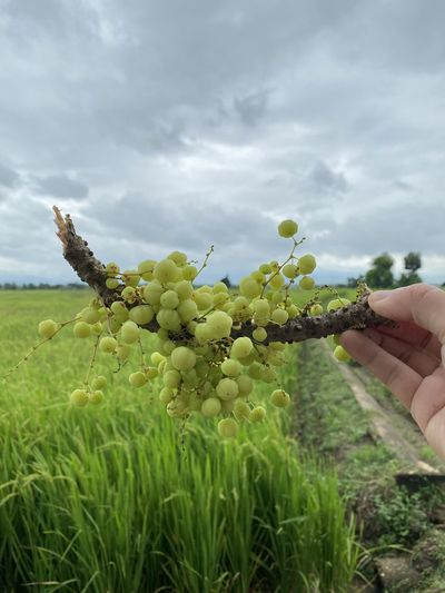 Person holding fruit growing on field against sky