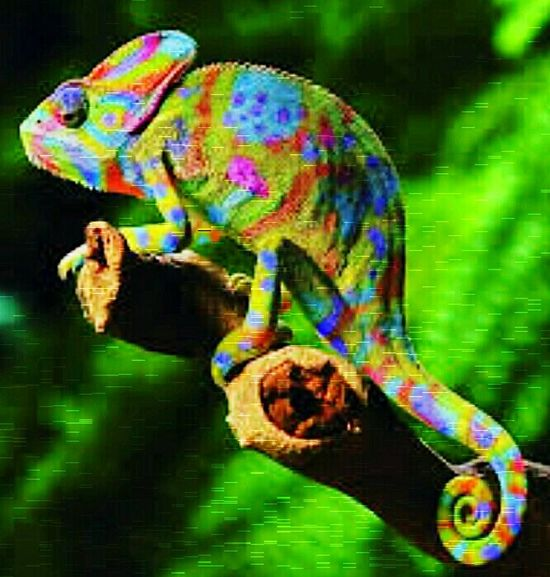 Chameleon,Island of Hawai'i. Check This Out My Eyes Expect To Win! Loving Life! Psychedelic Reality