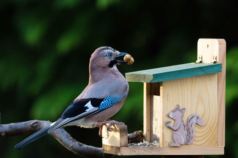 Close-up of eurasian jay with peanut on birdhouse