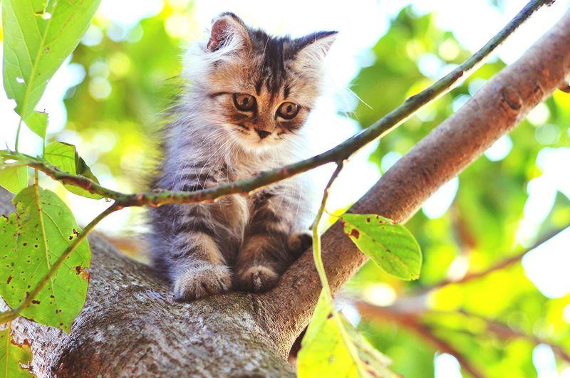 Animal Themes Persian Cat  Cat Lovers Cats Of EyeEm Cats 🐱 Kitten 🐱 Pets Tree Kitten Branch Domestic Cat Feline Portrait Ear Leaf Climbing Animal Eye Animal Head  Cat Animal Face