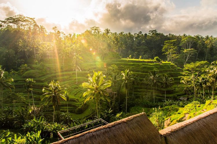 Beautiful sunrise at Tegalalang rice terraces in Ubud, Bali. Bali, Indonesia Bali Rice Terraces Rice Field Plant Growth Beauty In Nature Sky Green Color Tree Nature Sunlight Agriculture Scenics - Nature Tranquil Scene Rural Scene