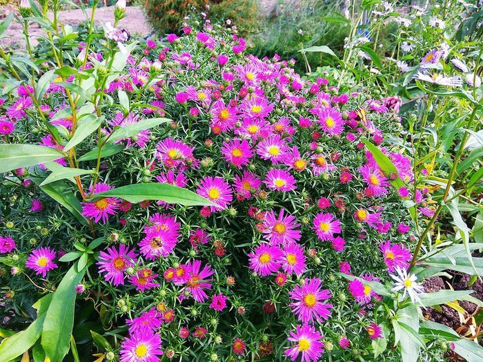 Flower Plant Growth Outdoors Day Full Frame Nature Fragility Beauty In Nature Backgrounds No People Freshness Flower Head Blooming Close-up Purple Flower Purple Flowers Textured  Bouquet Chrysanthemums Asters Aster Violet Flowers Violet Flower Summertime