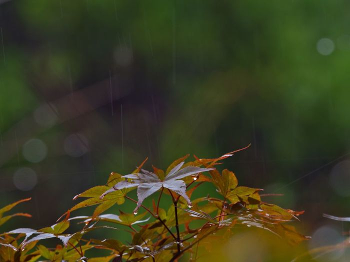 ☔️🍁 Simple Quiet Love Japan Autumn M.ZUIKO DIGITAL Lumix G9 Scenics EyeEm Nature Lover EyeEm Best Shots Wet Green Color Day Bokeh No People Outdoors Tranquil Scene Tranquility Drop Rain Leaf Beauty In Nature Nature Close-up Focus On Foreground
