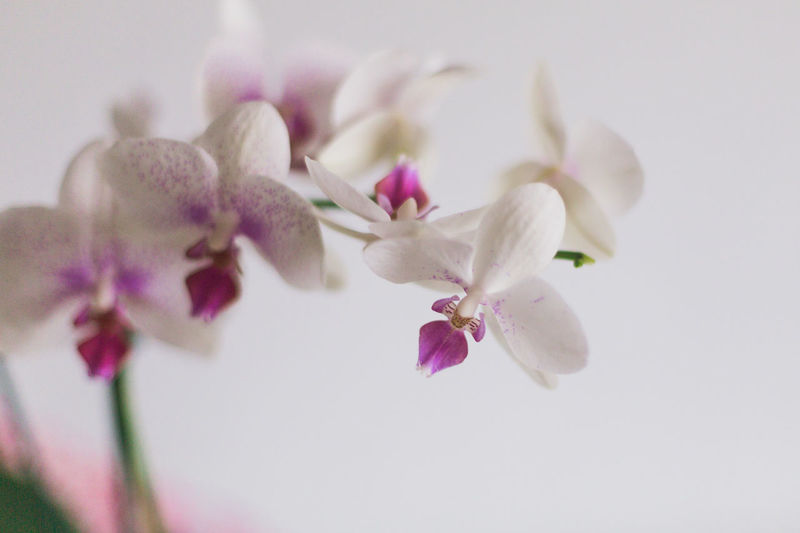 Orchids. Orchid Orchids Beauty In Nature Blossom Flower Flower Head Fragility Freshness Nature No People Petal White Background