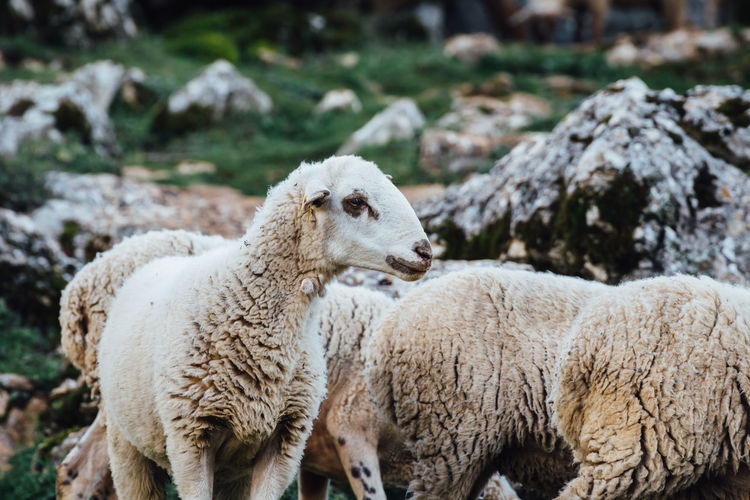 Animal Animal Family Animal Head  Animal Themes Farm Animals Grazing Livestock Mammal Nature Outdoors Sheep The Great Outdoors - 2016 EyeEm Awards Torcal De Antequera White Wildlife Wool Young Animal