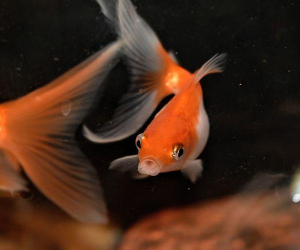 Swimming UnderSea Underwater Water Red Orange Color Close-up Aquarium Animals In Captivity Fish Tank Goldfish Animal Fin Fishbowl Fishes
