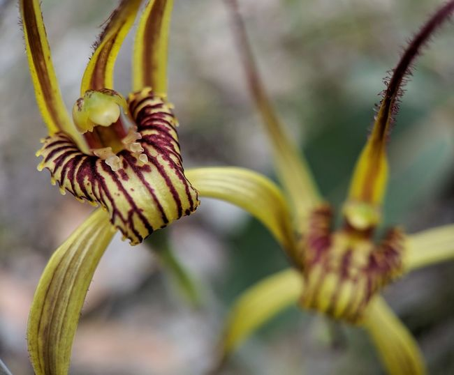Mustard orchids. Orchids Blossom EyeEm Selects Flower Close-up Plant