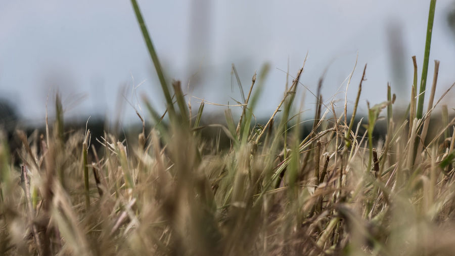 Agriculture Beauty In Nature Blade Of Grass Cereal Plant Close-up Crop  Day Farm Field Grass Green Color Growth Land Landscape Nature No People Outdoors Plant Rural Scene Selective Focus Stalk Surface Level Tranquility Wheat