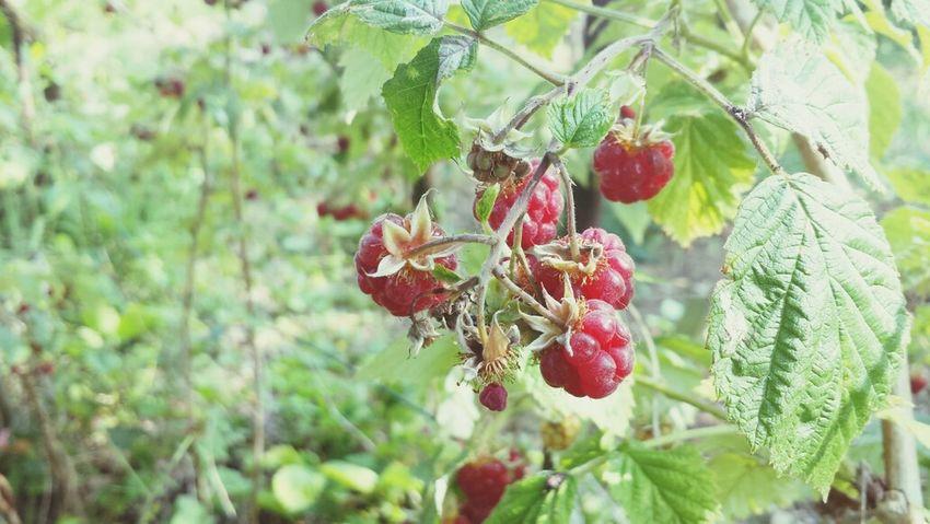 Framboise Berry Jardin Fruity
