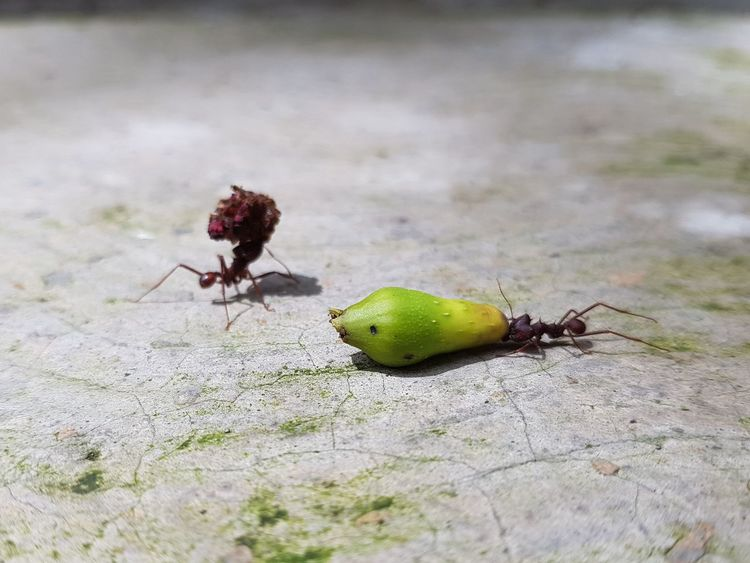 Leaf cutter ants pulling carrying Leaf Cutter Ants Fruit Ant Insect Carribean Insect Ant Animal Themes Close-up