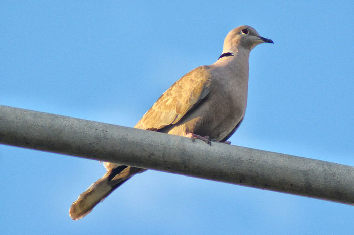 sunset Animal Animal Themes Animal Wildlife Animals In The Wild Bird Blue Clear Sky Day Full Length Low Angle View Metal Mourning Dove Nature No People One Animal Outdoors Perching Sky Sunset Light Close-up