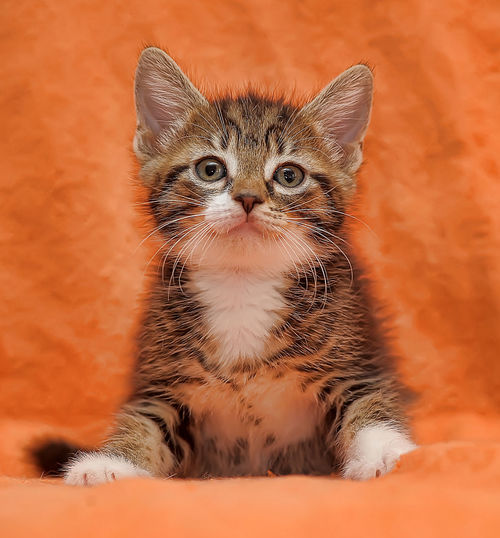 Portrait of tabby kitten
