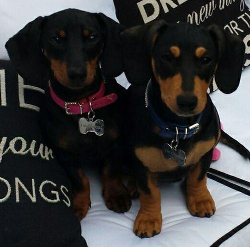 Dachsund Dog Pets
