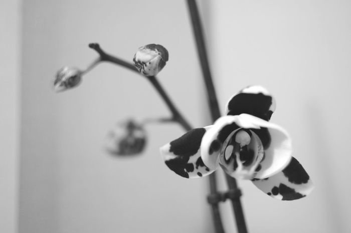 My little Flower has Blossom -ed . Black And White Black & White Orhids
