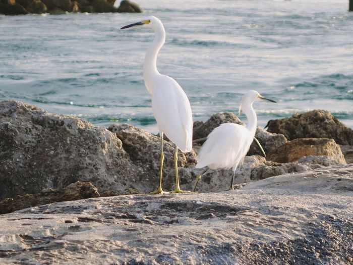 Bird Animal Themes Animals In The Wild Wildlife Water White Color Side View Full Length Beak Great Egret Lakeshore Nature Tranquility Calm Shore Ocean Day Beauty In Nature Non-urban Scene