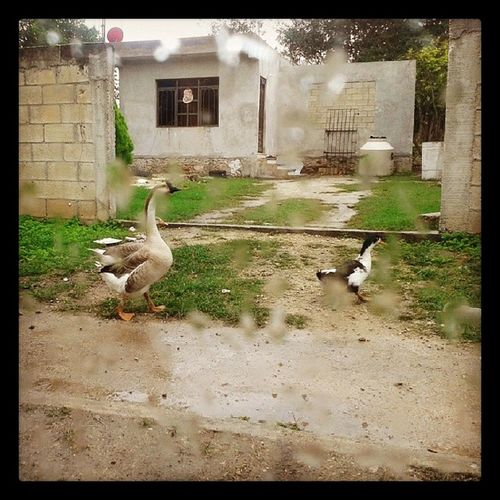 Yendo por el camino Ganso Pato Camino Goose ducks